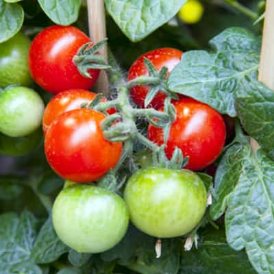 5 Ways to Stake Your Tomatoes