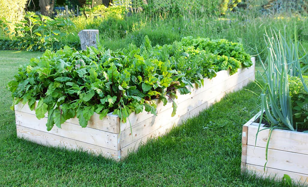 Raised garden bed filled with greens.