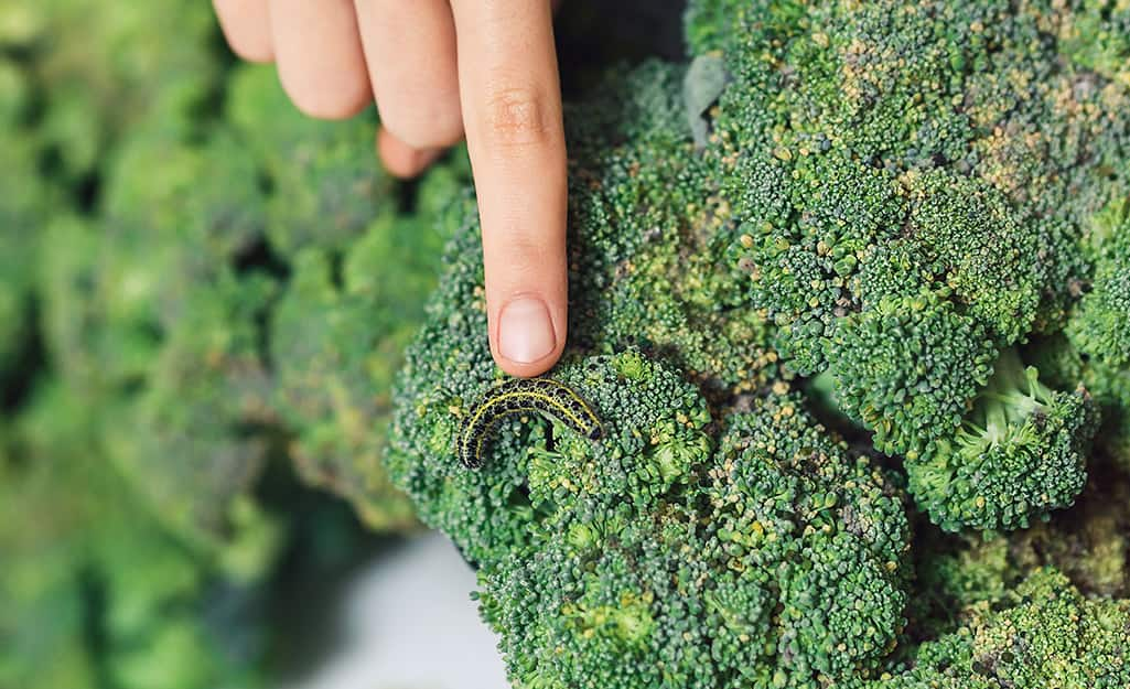 Caterpillar on broccoli.
