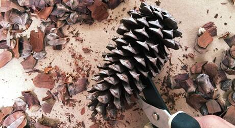 Cut the Pinecones for Flowers