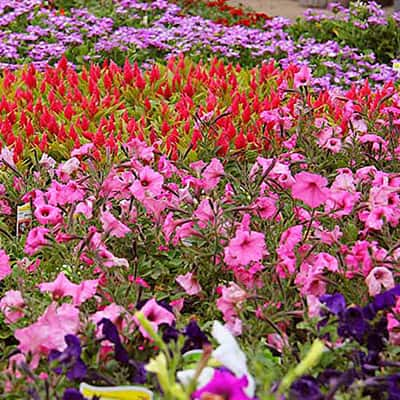 Spring Flowers  - Buying Guide