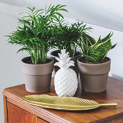 Three pots of houseplants that take low light, a gold tray and a ceramic pineapple sitting on a chest.