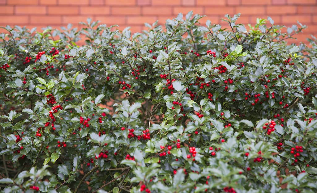 Holly shrub in front of a brick wall.