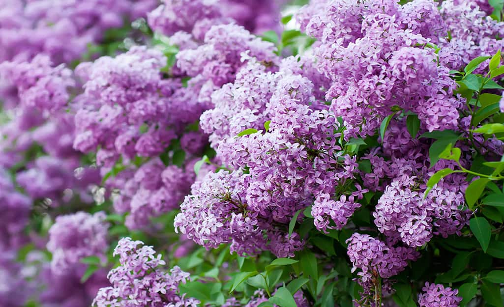 Purple lilacs in bloom.