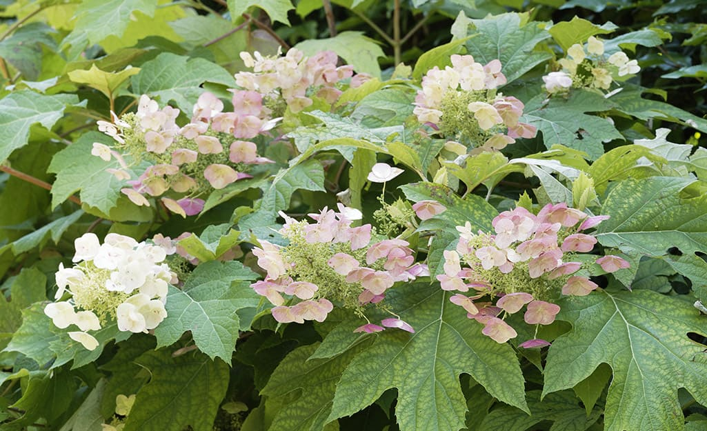 Oakleaf hydrangeas in bloom.