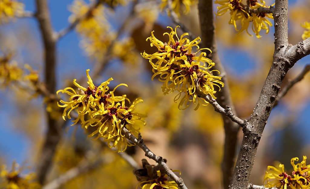 Witch hazel in bloom.