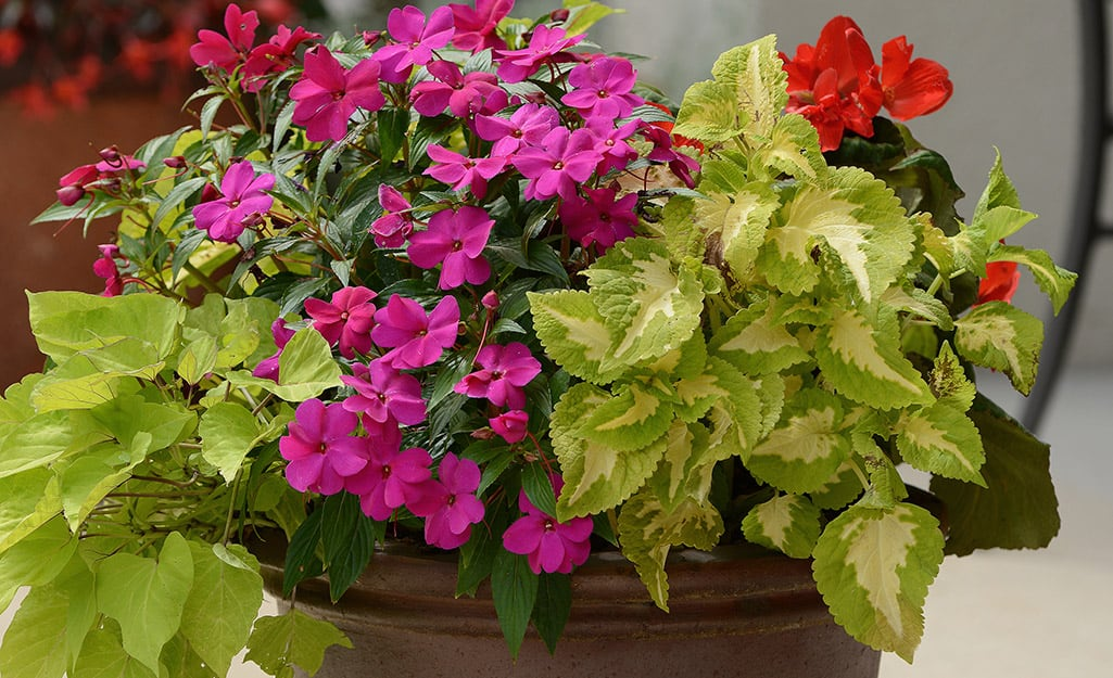 Sweet potato vine, pink impatiens and green coleus fill a container.