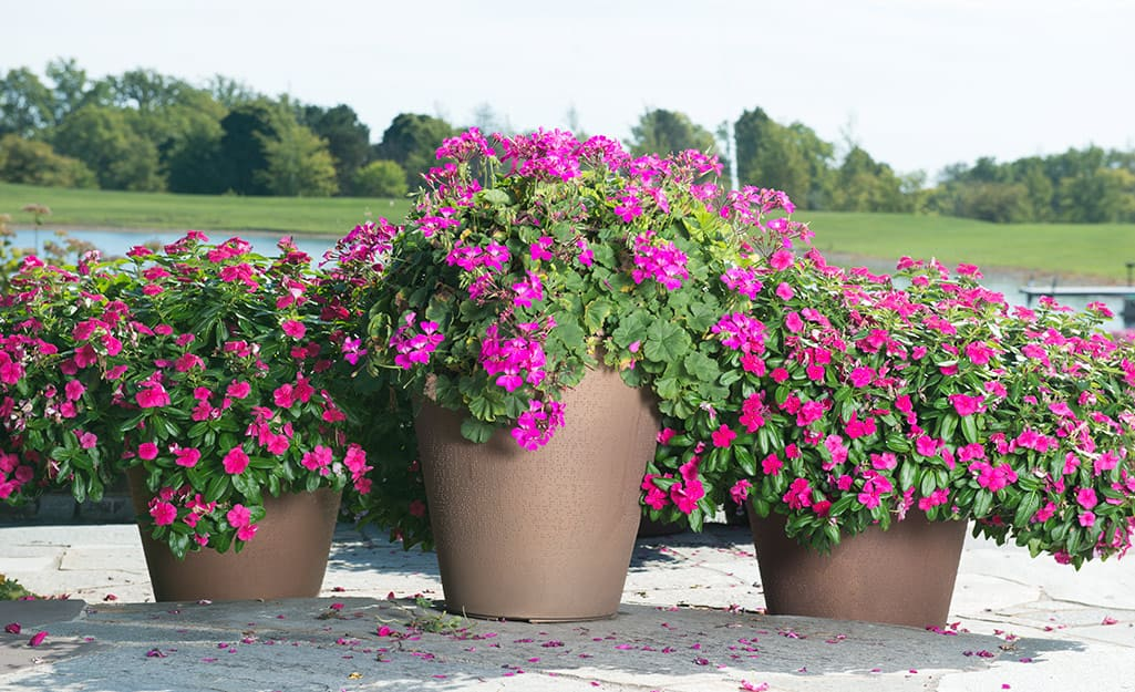 Pink blooms in containers