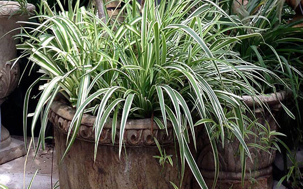 Ornamental grass in a stone-look planter.