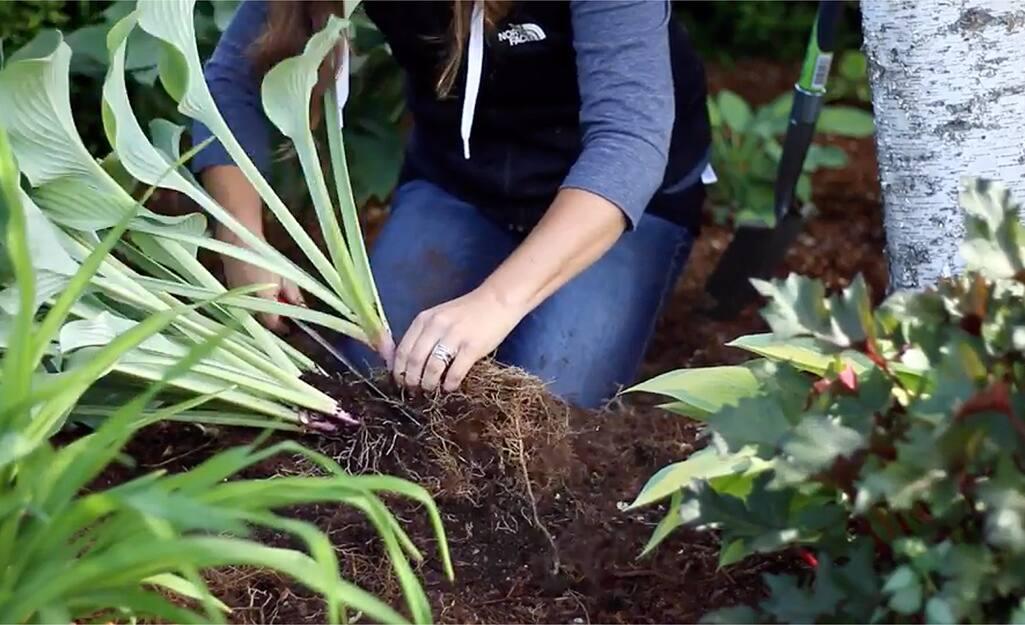 Gardener dividing perennials