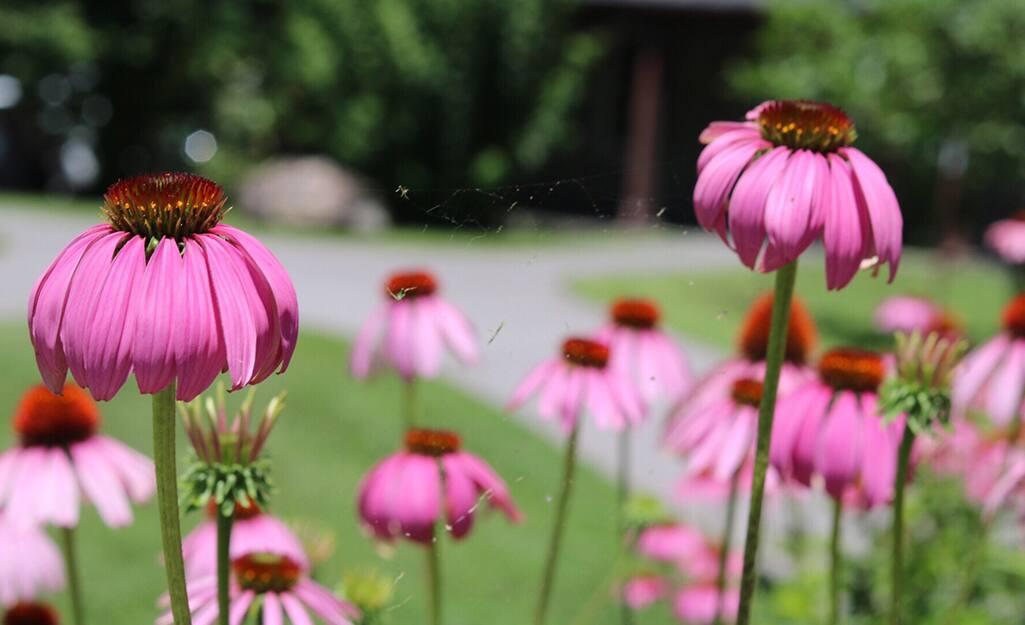 Pink coneflower in a garden