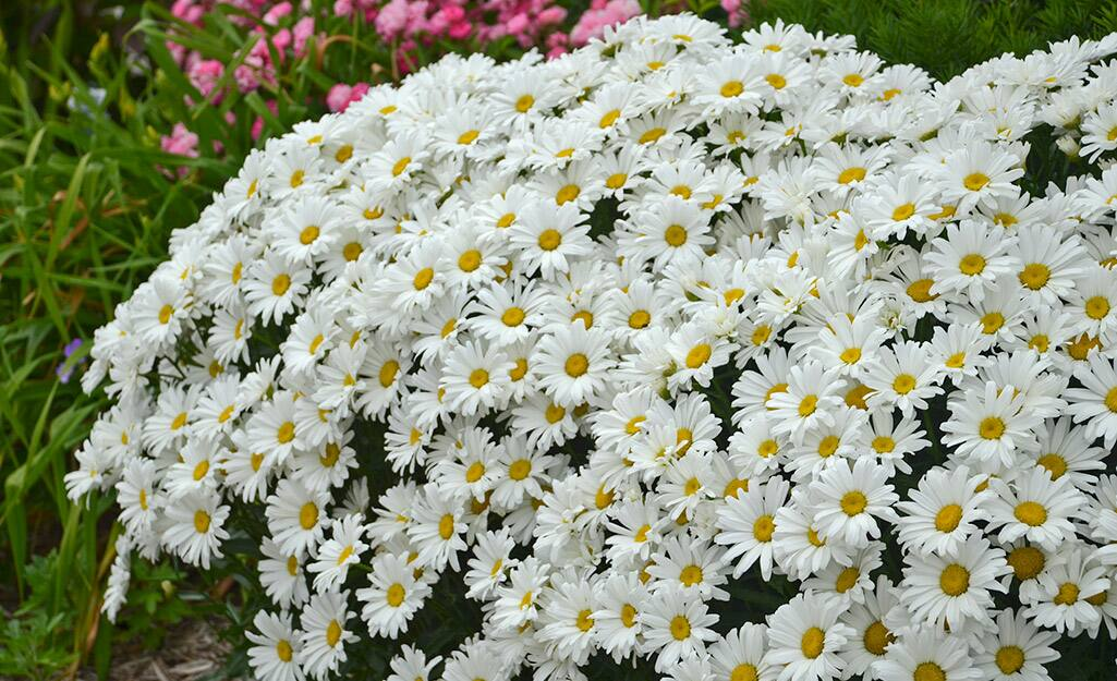 White Shasta daisy blooms in a flower bed