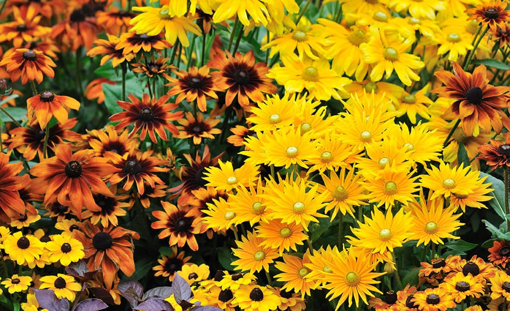 Rudbeckia flowers in a flower bed