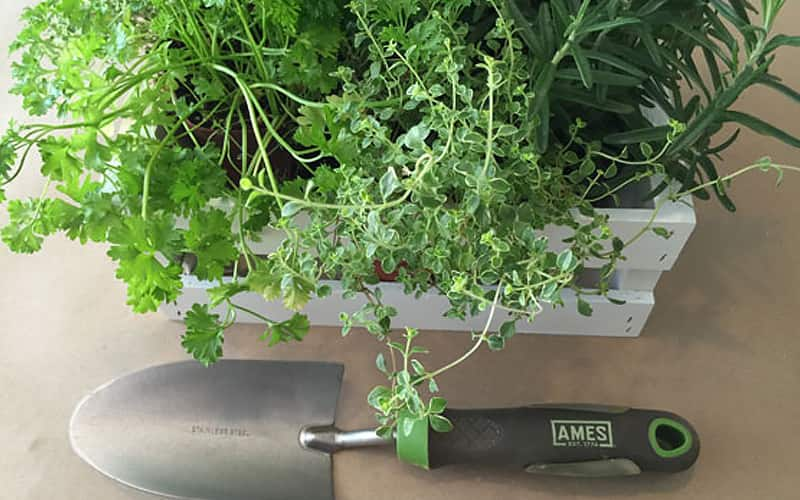 Container of herbs with a trowel