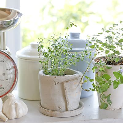 Pots of herbs in a sunny window