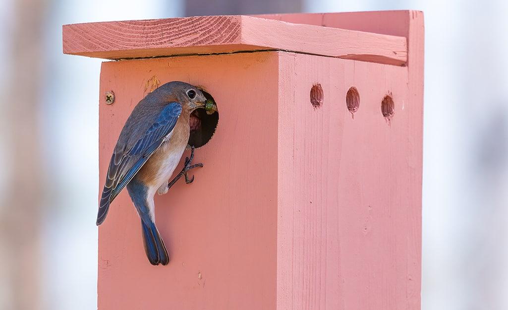 A bluebird pokes its beak into the opening of a DIY birdhouse
