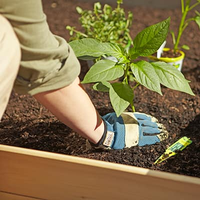 A person wearing garden gloves planting an edible plant in a raised garden bed.