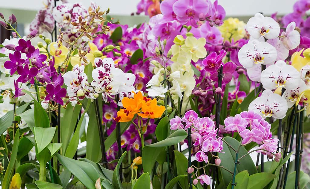 A variety of orchid plants blooming in pink, white and orange colors.