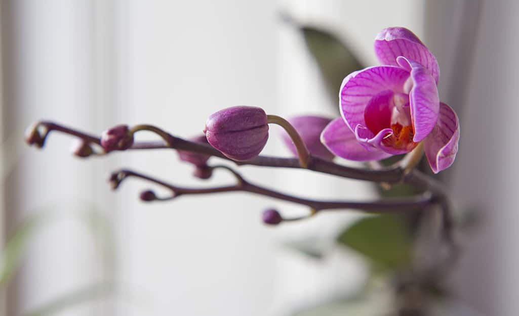 An orchid plant with its final blooms.