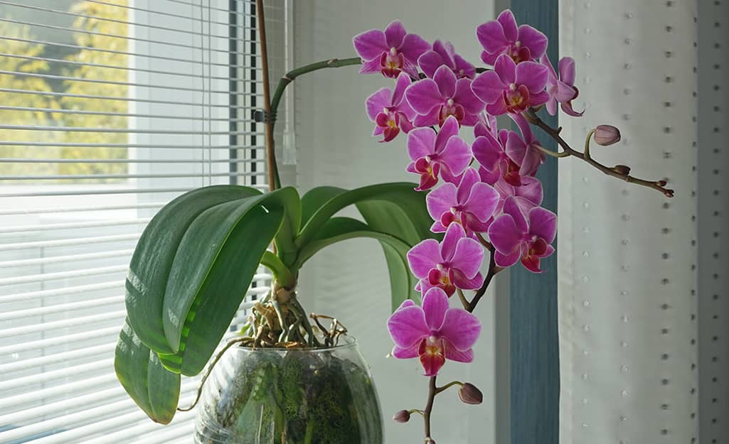 A cascading orchid plant with green leaves and purple flowers.