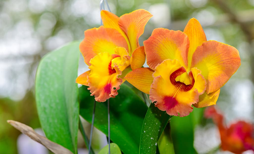 An orchid featuring two orange and pink blooms.
