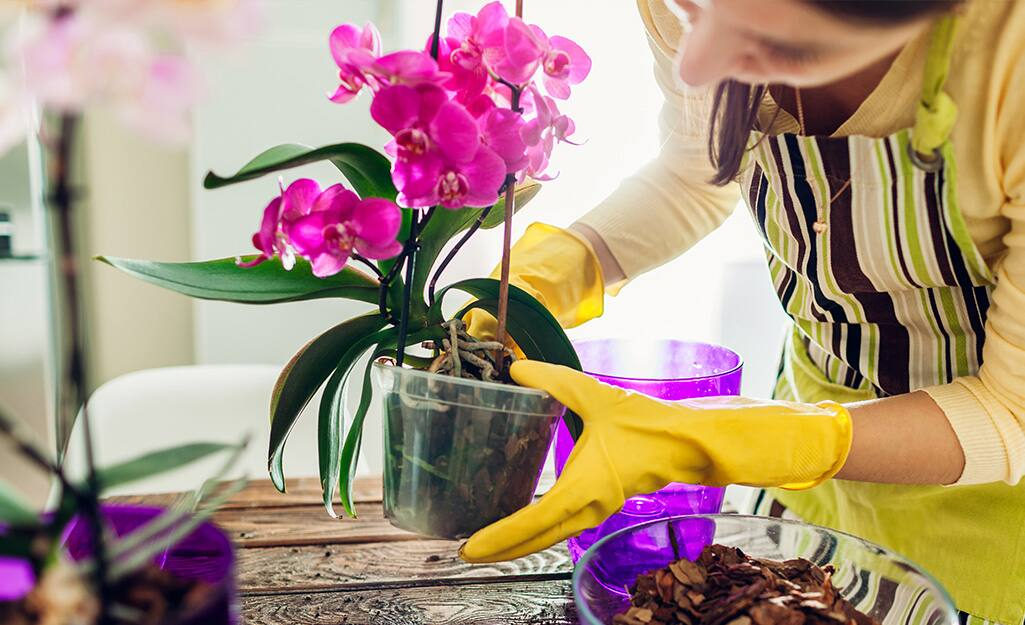 Someone potting an orchid plant.