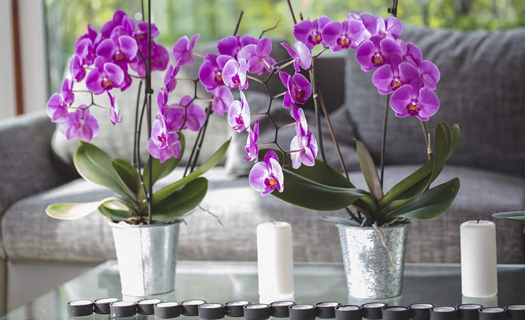 Orchids blooming in silver buckets.
