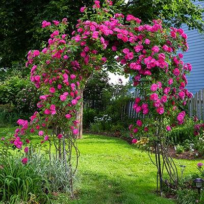 Pink roses climbing on a trellis