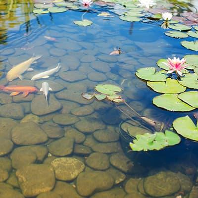 Goldfish swim in a backyard pond.