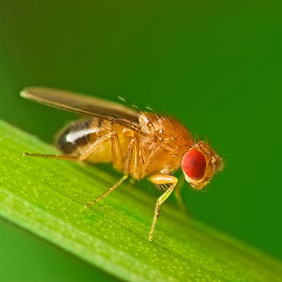 Fruit flies trap on counter
