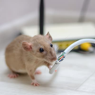 A mouse chewing on an electric wire.