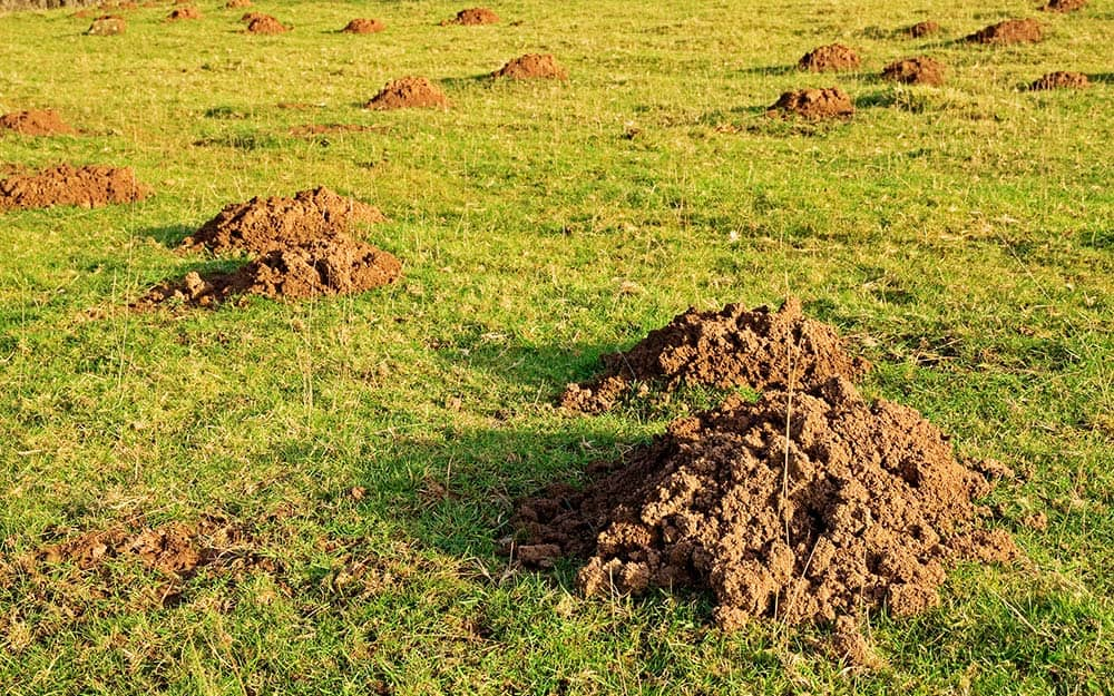A close-up view of mole holes in a green lawn.