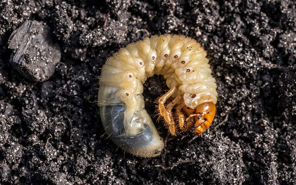 A grub lying on top of the ground.