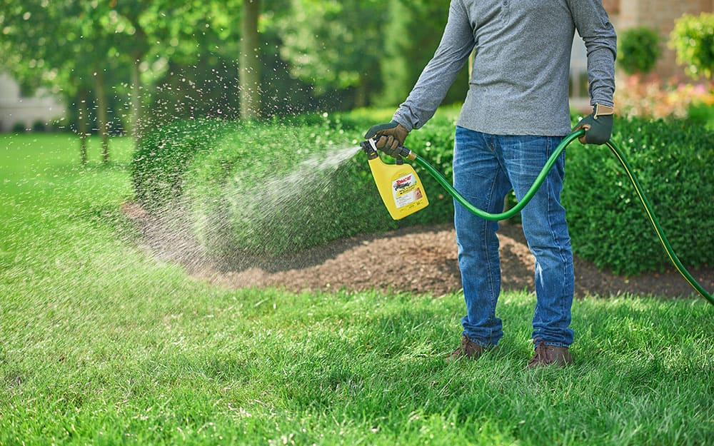 Someone spraying a lawn with liquid mole repellent from a bottle attached to a garden hose.
