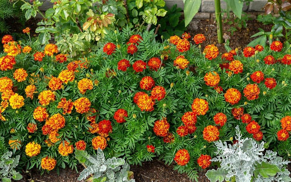 Marigolds planted in a garden to repel moles.
