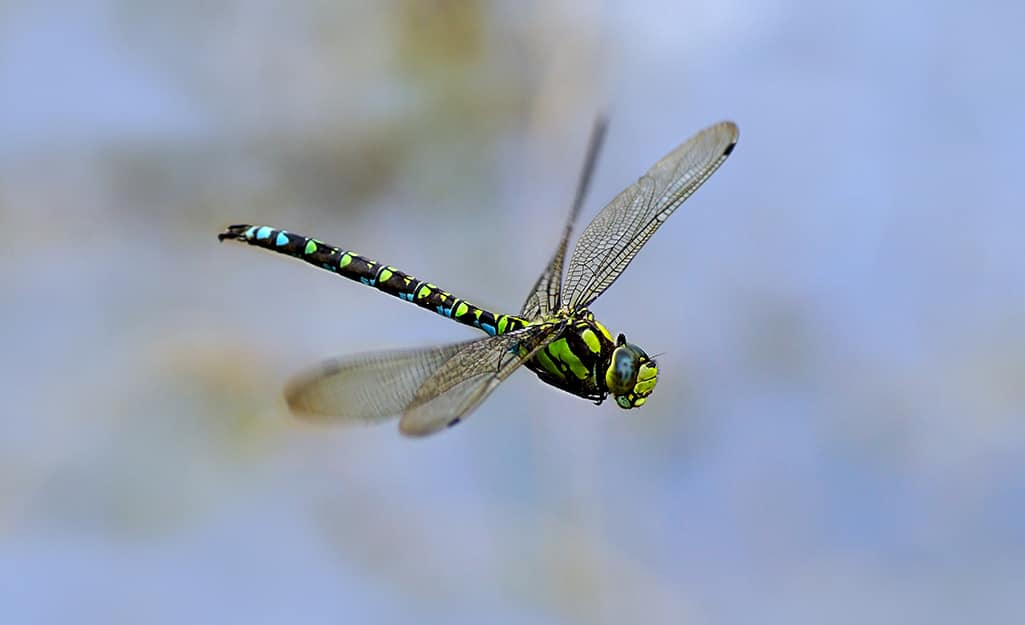 A dragonfly flies outdoors.