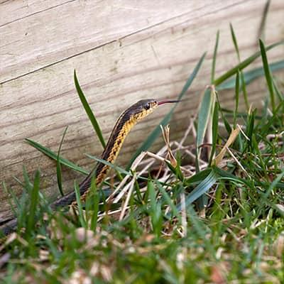 A little snake hidden in some grass.