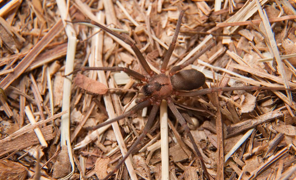 A brown recluse spider.