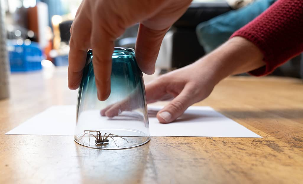 A person slides a sheet of paper under a glass containing a spider to transport it outdoors.