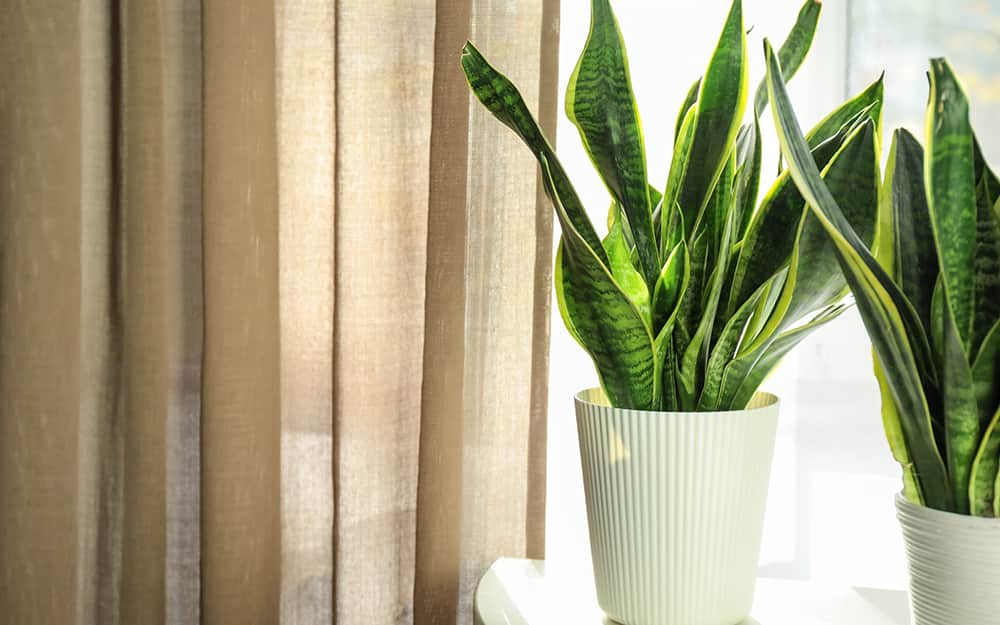A snake plant sits on a table.