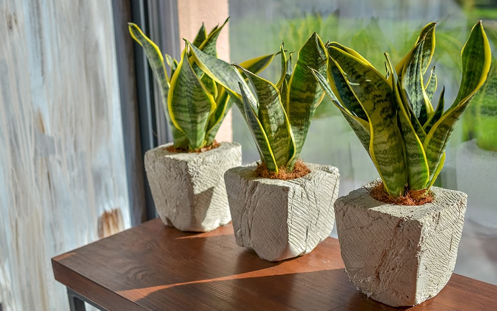 Three snake plants sit on a table by a window.