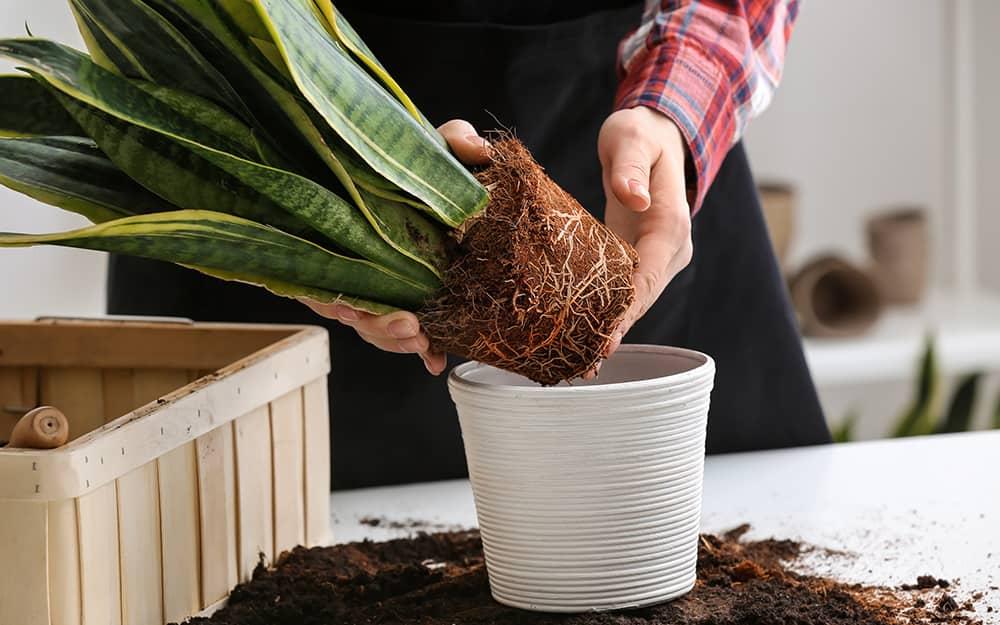Snake Plants Grow