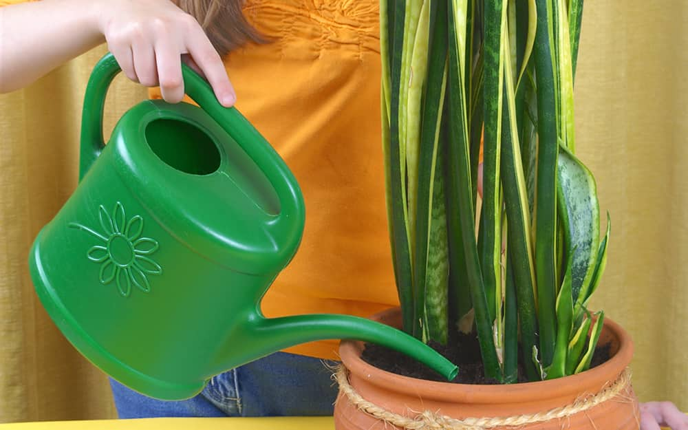 A gardener waters a snake plant with a watering can.