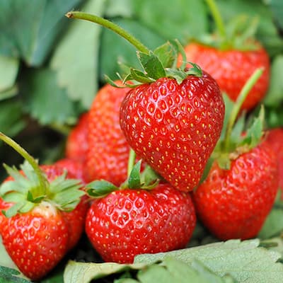 A cluster of ripe, red strawberries.