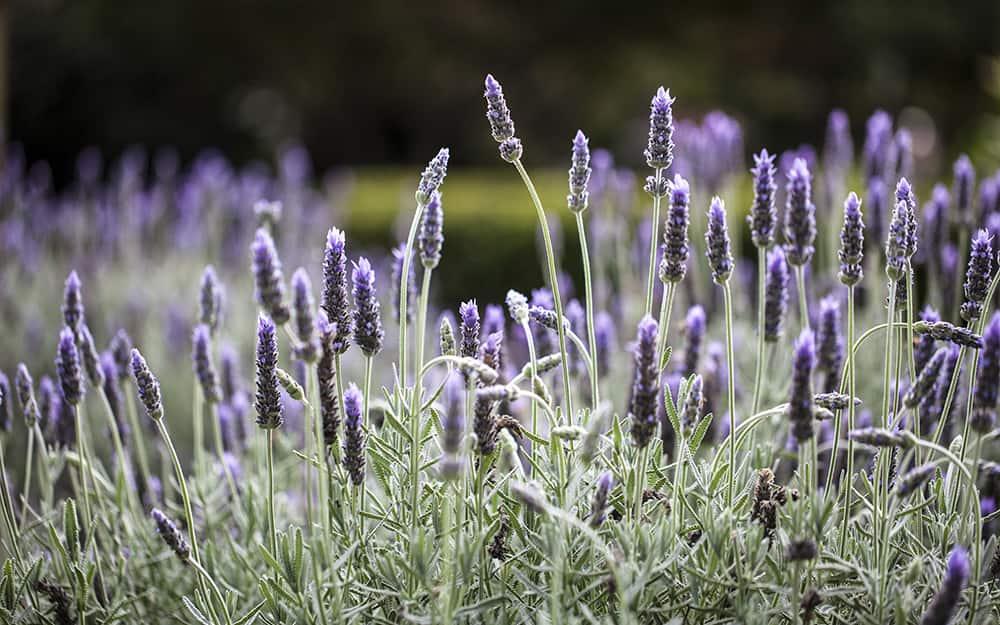 Grow lavender in the garden