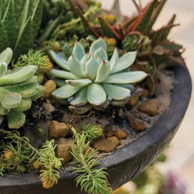 Succulents in a bird bath