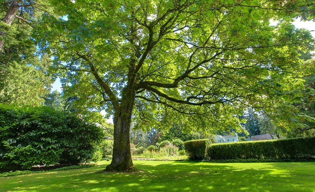 A tall tree with strong branches, suitable for a tree swing, in a green lawn.