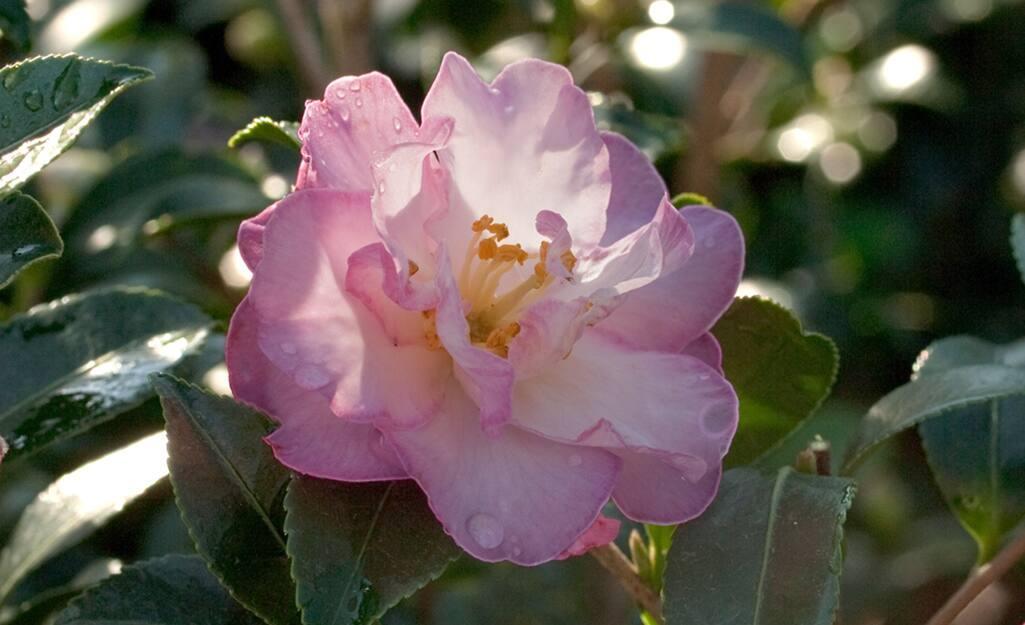 A pink camellia blossom for a Zen garden.