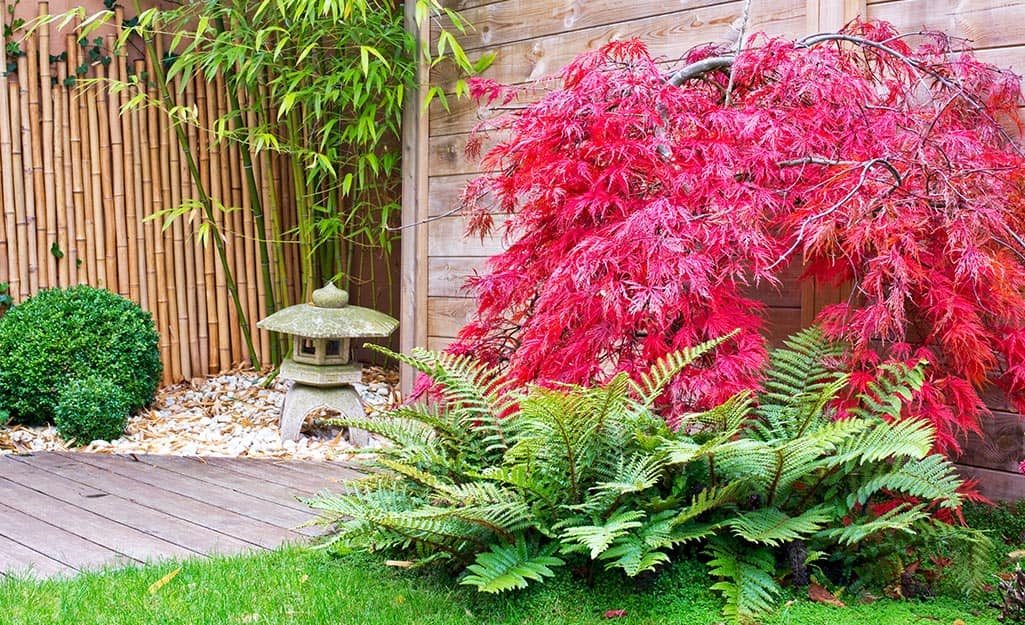 A small Zen garden in a backyard, backed by a bamboo screen, and made with white pebbles, a stone lantern and planted with ferns and a red Japanese maple tree.