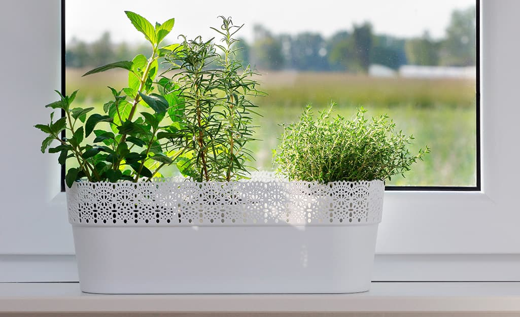 Three different kinds of herbs growing in a decorative white container in a bright window.